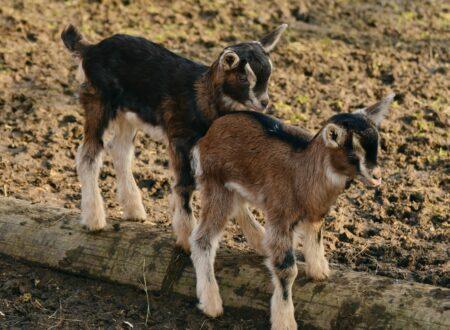 L'allevamento del capretto da 0 a 2 mesi