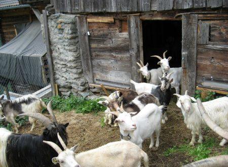 Un nuovo allevamento: l'acquisto delle capre