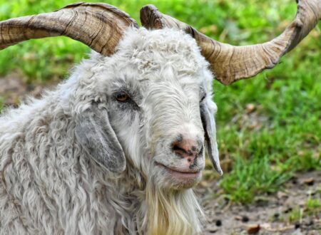 La capra cashmere: origini, allevamento, alimentazione, produzioni